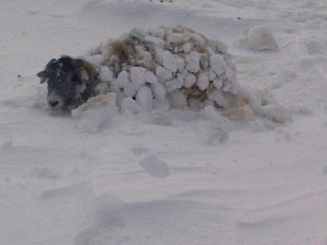 Sheep Under the Snow